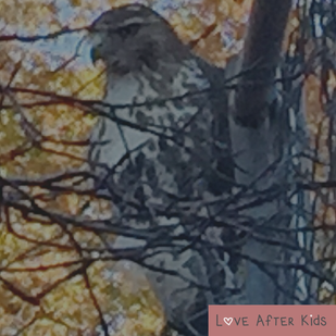 The red-tailed hawk we saw in Central Park